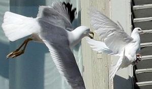 B16_Seagull_2.jpg